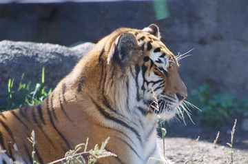 Tiger_akatsuki